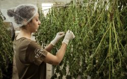 woman working in cannabis